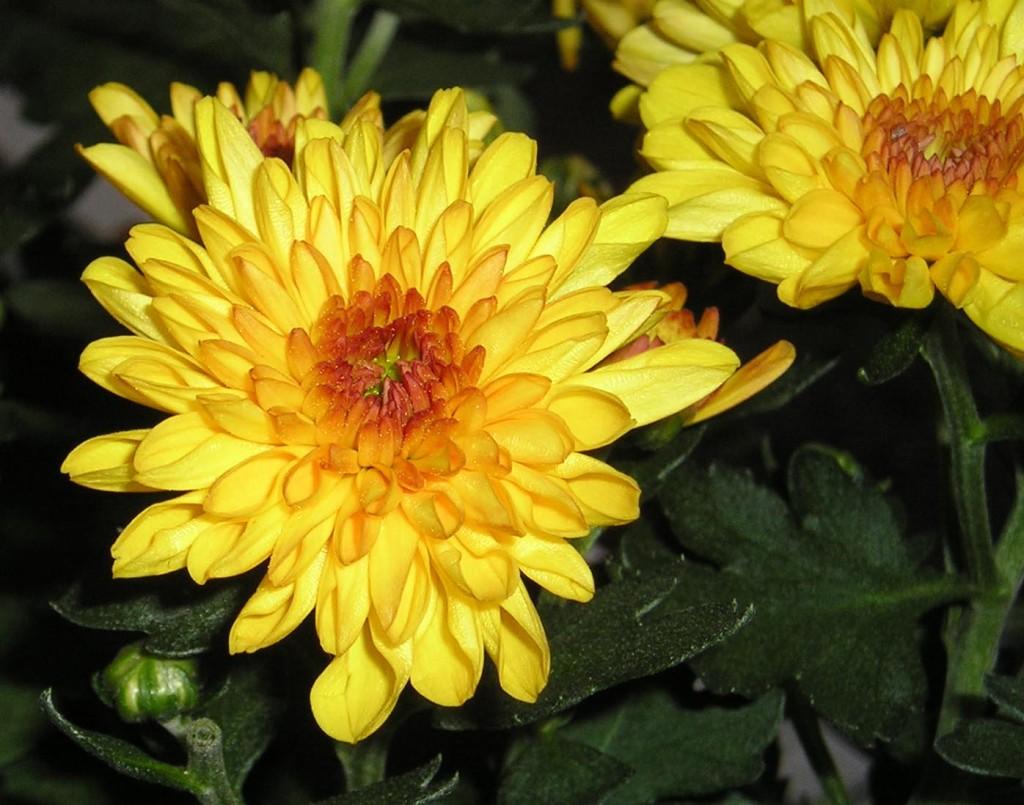 crisantemi 1