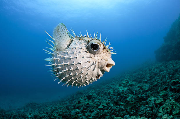 Hawaii, Maui, Spotted Porcupinefish (Diodon hystrix) swims along the ocean floor.